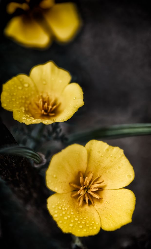 yellow-poppy-9165-1