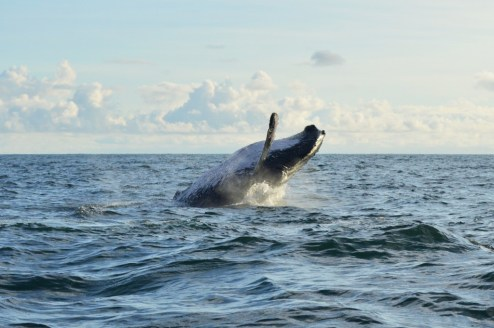 Stunning humpback whale jumping while whale-watching in Nuqui, Colombia