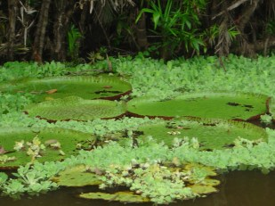 The Victoria Regia, iconic giant floating water lilies found only on the Amazon river and it's tributaries.