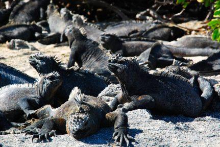 Marine iguanas in Punta Espinoza, Galapagos Islands
