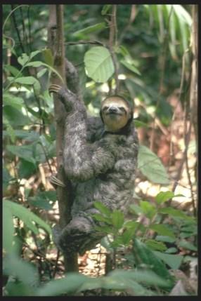 Sloth, Amazon, Brazil