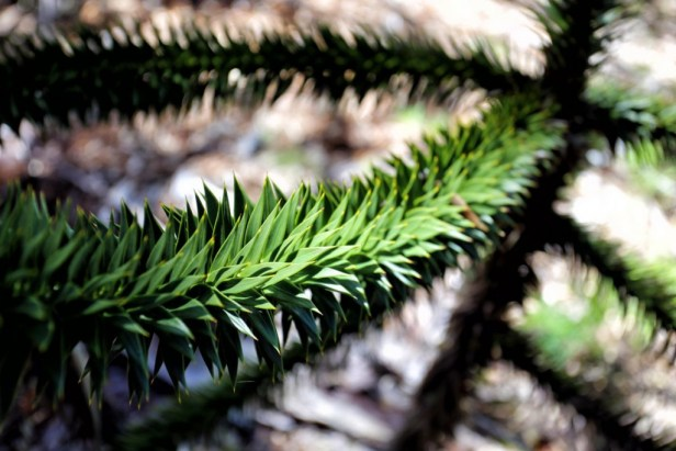 They might look amazing, but Monkey Puzzle Trees are extremely sharp!