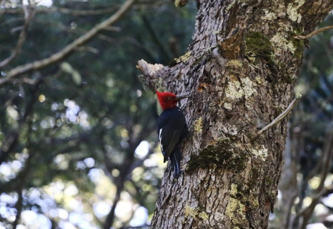 The striking Magellanic woodpecker, seen during a hike near Pucon, Chile