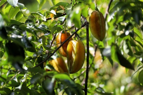 The star fruit. As well as being delicious, these fruits hold many medicinal purposes which indigenous people have used for centuries in Peru