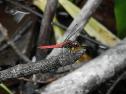 Admiring a Glasswing dragonfly in the Colombian Amazon