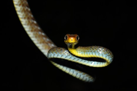 Chironius fuscus snake found at the Manu Learning Center in the Amazon in Peru