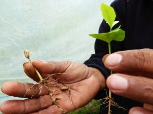 Different stages of growth - Don Augustine's coffee plants, Nicaragua