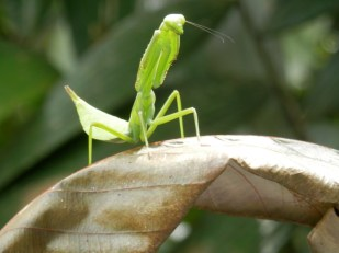 Praying Mantis waiting to attack in the Amazon in Colombia