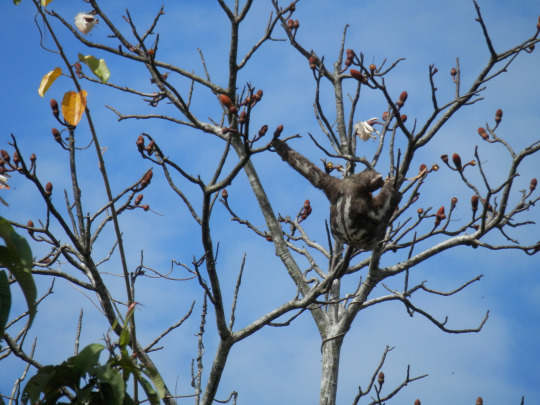 Sloth looking for food in the dry season in the Colombian Amazon