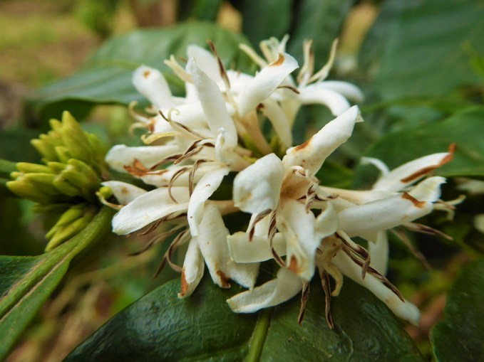 The first flowers of the coffee plant this season at Don Agustin's Finca, near La Fundadora, Northern Nicaragua