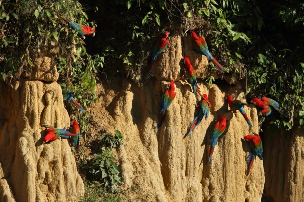 Walls of colour - morning bird watching in the Peruvian Amazon