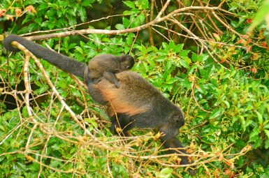 Mother Howler Monkey with her child in the Monteverde National Park, Costa Rica