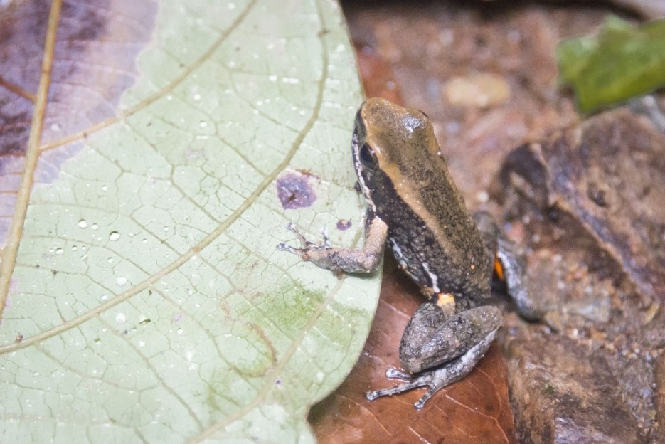 A common rocket poison dart frog in the Utria National Park, Choco, Colombia