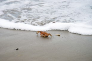 A crab near the sea in Choco, Colombia
