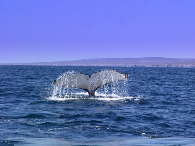 A Humpback Whale showing its tail before disappearing in the ocean, Huasco coast Chile