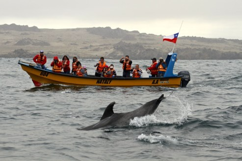 A dolphin swims between two boats along the coast of Chile
