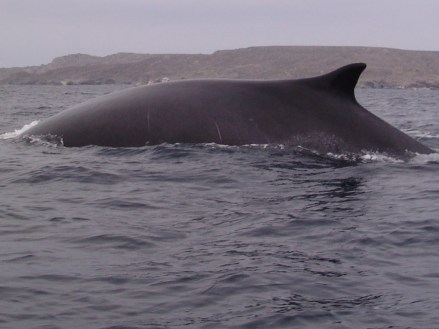 A huge whale showing itself near Chañaral island while whale-watching in Chile