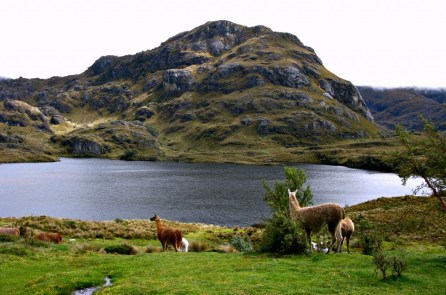 Llamas in their breath taking home in the Cajas National Park, Ecuador