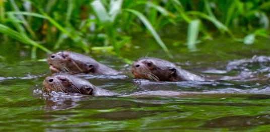 Three Giant River Otters in Yasuni National Park, Ecuador