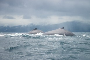 Two humpback whales show themselves in Choco, Colombia