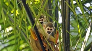 Two stunning Squirrel monkeys in the Yasuni National Park, Ecuador