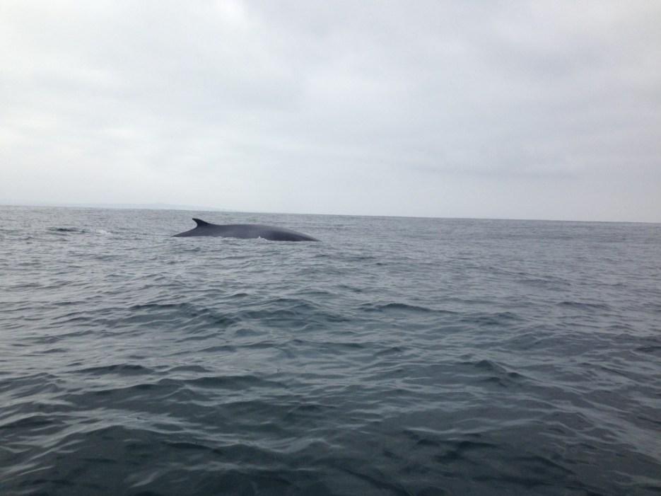 Whale-watching in Chile near Chañaral Island
