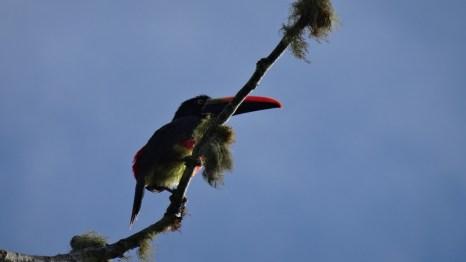 A colourful fiery-billed aracari in the Ballena National Park in Uvita, Costa Rica