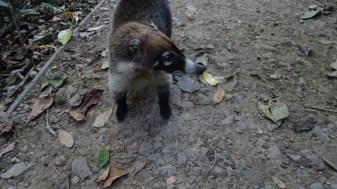 A curious coati also known as pizote while looking for wildlife in Costa Rica