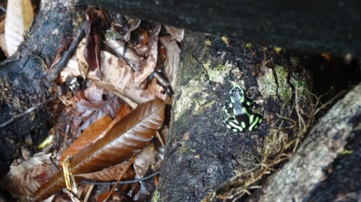 A green spotted dart frog trying to camouflage in the Corcovado National Park, Costa Rica