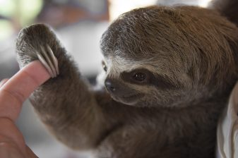 A three-toed sloth interacting with travellers in the Colombian Amazon Jungle