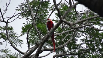 An incredible scarlet macaw at the Manuel Antonio National Park, Costa Rica