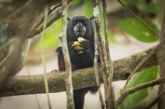 Hungry black monkey enjoying some fruit outside of Leticia while wildlife watching in Colombia, Amazon Rainforest