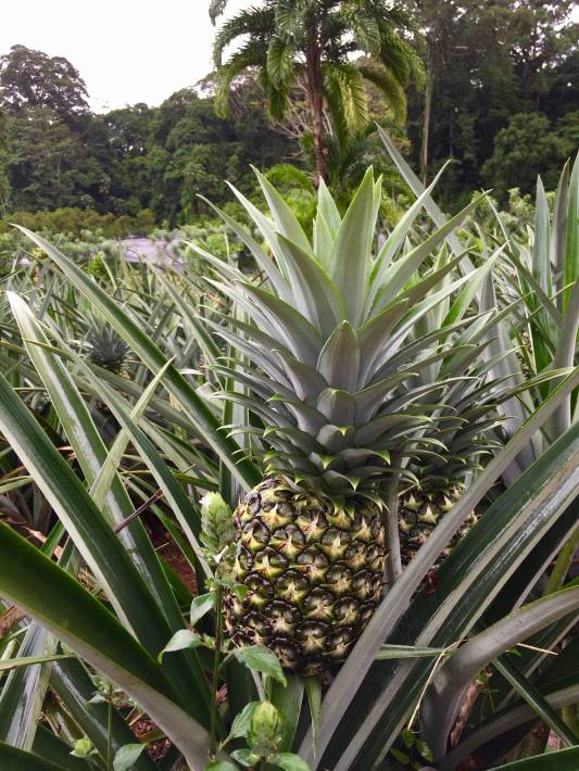 A field filled with delicious pineapples at Finca Sura in Costa Rica