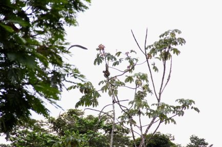 A sloth hanging from the trees in the distance, Costa Rica