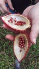 Annattos, the bright red seeds are used to add natural colour to food, found in Finca Sura, Costa Rica