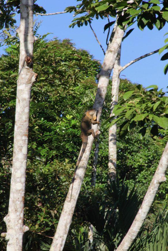 Found an Iguana climbing in the trees near Sarapiqui, Costa Rica