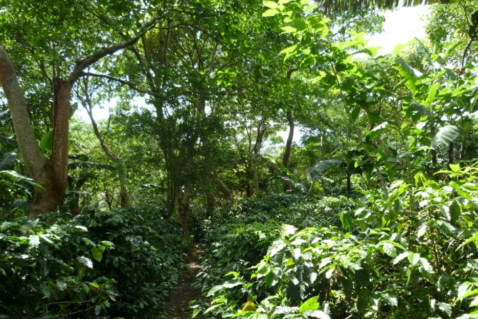 In highlighting the resort's use of agroforestry, Arabica coffee plants share space with other plants and trees at Finca Rosa Blanca in Costa Rica