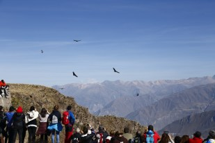 Six Andean Condors soaring over the canyon to wonder the crowds