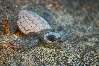 A baby turtle in the Ventanilla sanctuary near Puerto Escondido in Mexico