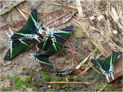 During a trekking excursion with the Mandari Panga community, we saw green-banded swallow-tailed moths, in the Ecuadorian Amazon