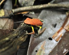 Frog watching at Mandari Panga Camp in the Amazon rainforest in Ecuador