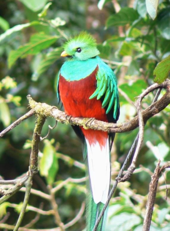 A beautiful quetzal during a bird-watching excursion in Boquete, Chiriqui, Panama