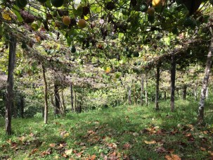 Passion fruit plantation, during a fruit tour in the beautiful province of Dota, Costa Rica
