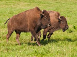 Summerseat Bison
