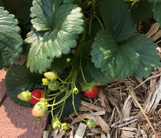 StrawberriesBeginAug2017