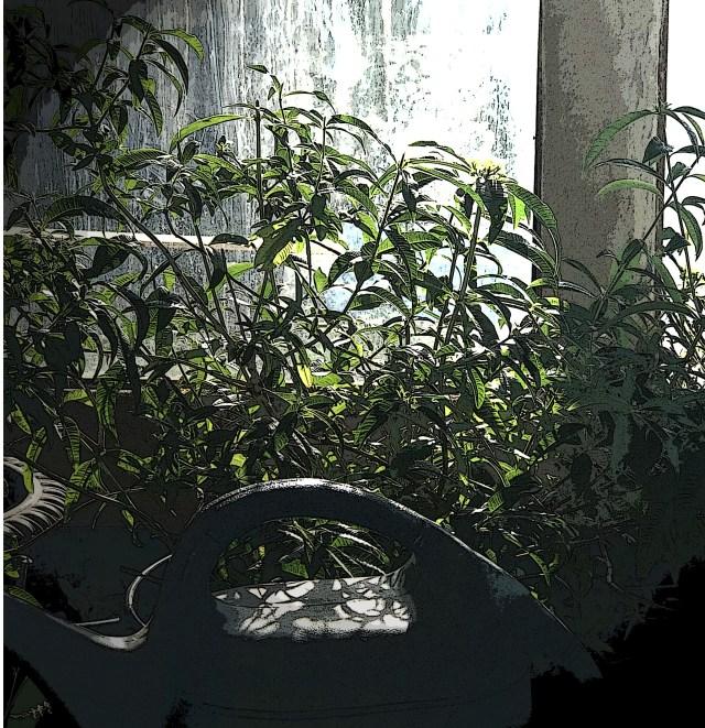 Lemon Verbena - Heavenly Fragrance!
