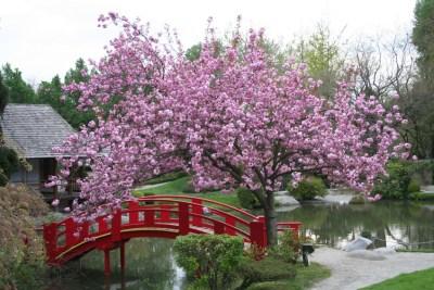 Pont sous un cerisier fleuri