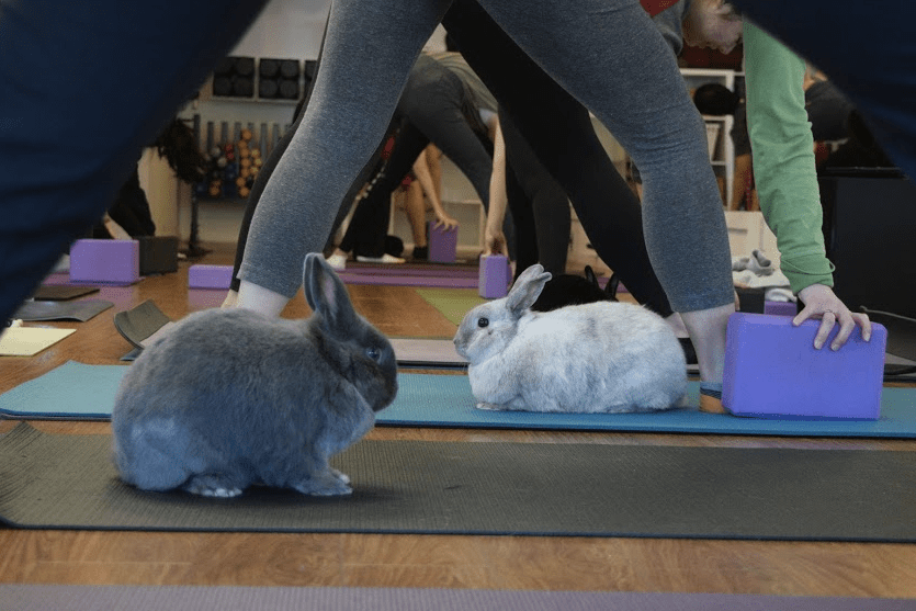Bunnies hanging out at Bunny Yoga at Sunberry Fitness