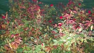 Rose Walk 1