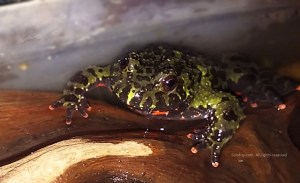 Steve Pickle - Fire Belly Toad male